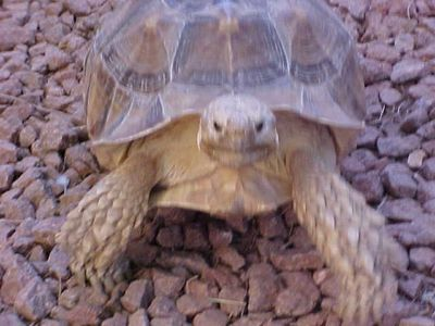 Big Swifty the Arizona Tortoise