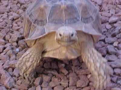 Big Swifty the Arizona Tortoise