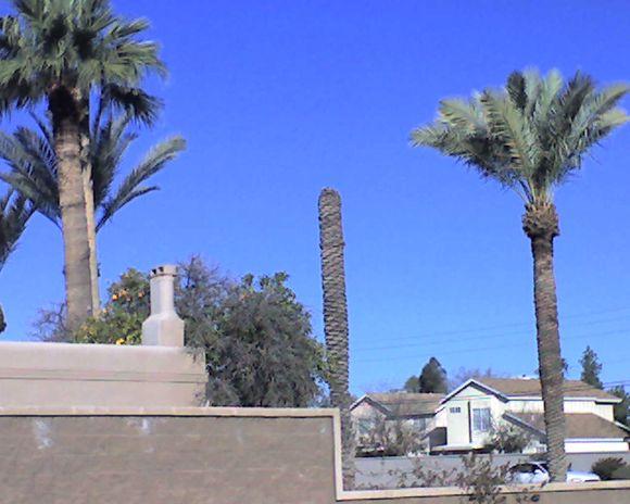 Decapitated palm tree in Mesa, Arizona!