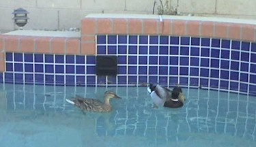 Arizona snowbirds in my swimming pool!